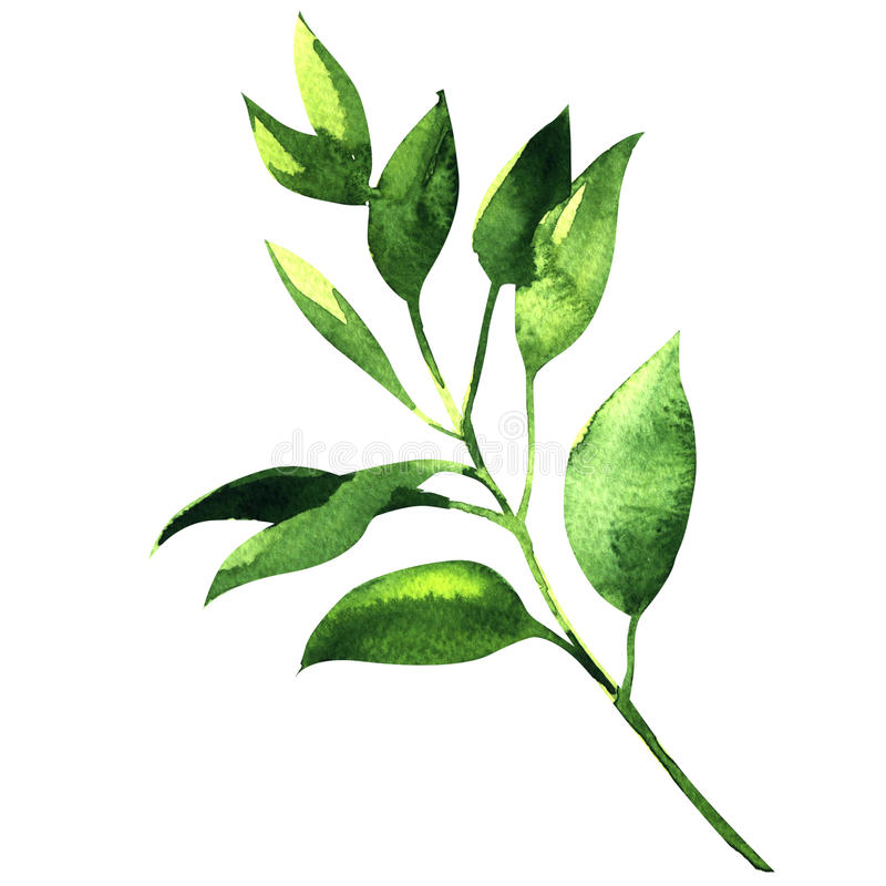 Fresh branch of laurel stock illustration