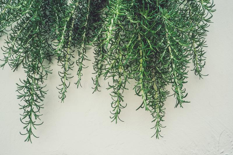 Fresh branches and leaves of rosemary in the vertical urban landscaping on the light wall. Spicy grass, spices. Background. Close royalty free stock image