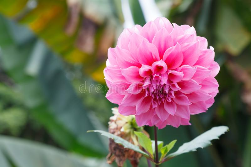 Fresh Bright Beautiful Pink Blooming Dahlia Wild Ornamental Flower. In the language of flowers, Dahlias represent dignity and stab. Ility, as well as meaning my stock photo