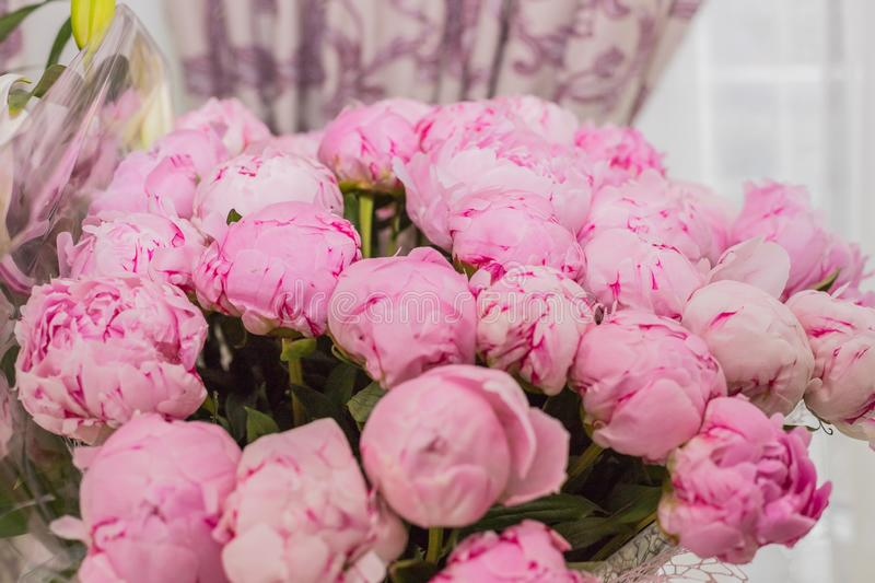 Fresh bright blooming peonies flowers with dew drops on petals. pink bud..Blooming peony or roses flowers close-up. Fresh bright blooming peonies flowers with stock image