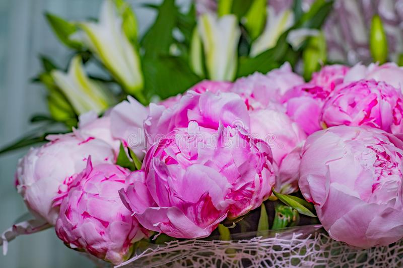 Fresh bright blooming peonies flowers with dew drops on petals. pink bud.Copy space.Blooming peony close-up. Wedding. Fresh bright blooming peonies flowers with royalty free stock images