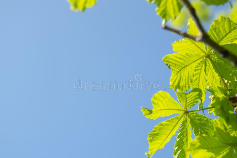 Fresh bright green chestnut leaves on a blue sky. Sunny summer day. Copy space. Fresh bright green chestnut leaves on a blue sky. Copy space royalty free stock photos