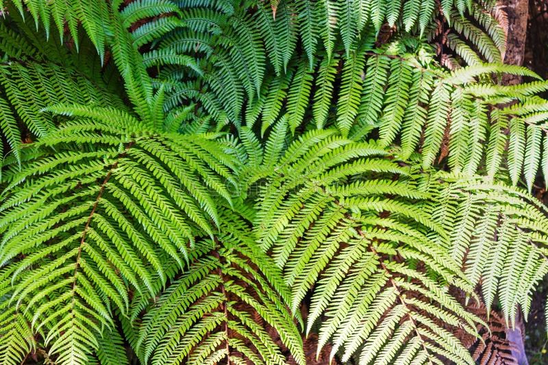 Fresh bright green fern fronds in New Zealand bush. royalty free stock images