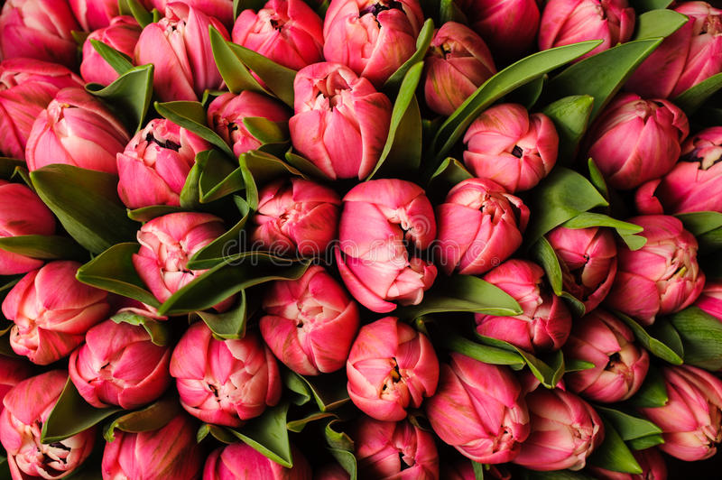 Fresh bright pink tulips with green leaves- nature spring background. flower texture stock photos