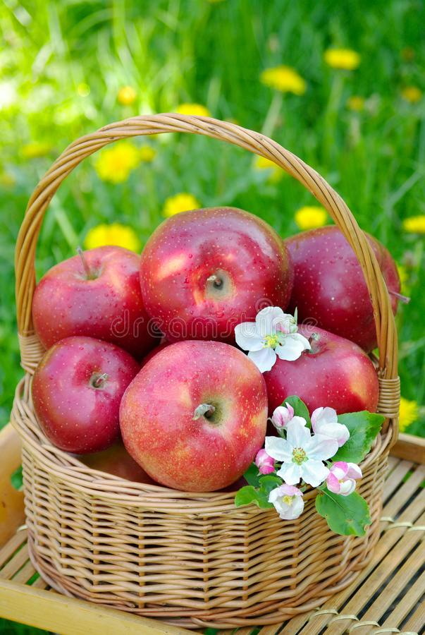 Fresh red organic apples in a wicker basket in the garden. Picnic on the grass. Ripe apples and apple blossoms royalty free stock image