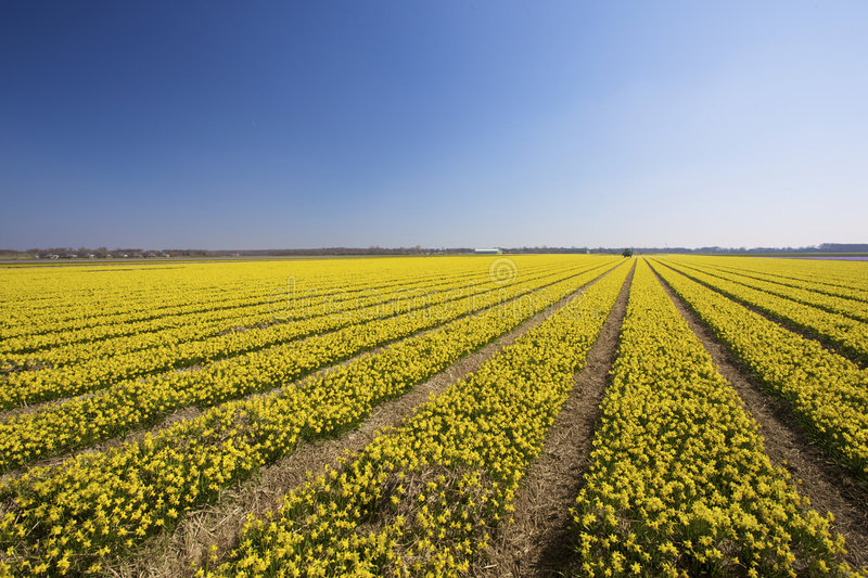 Download A Fresh And Bright Yellow Field Of Spring Flowers Stock Photo - Image: 8815678