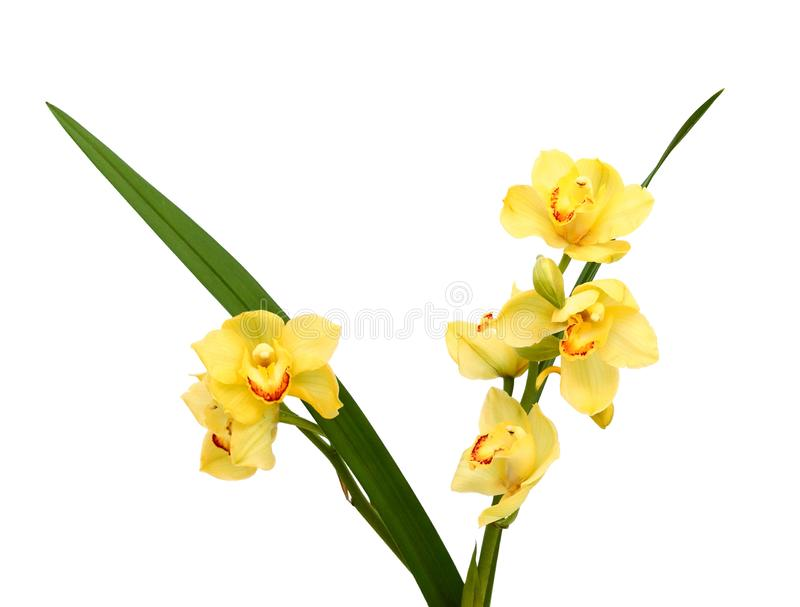 Fresh bright yellow orchid. Beautiful yellow orchid isolated on white background royalty free stock photography