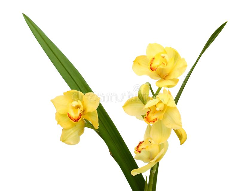 Fresh bright yellow orchid. Beautiful yellow orchid isolated on white background royalty free stock images