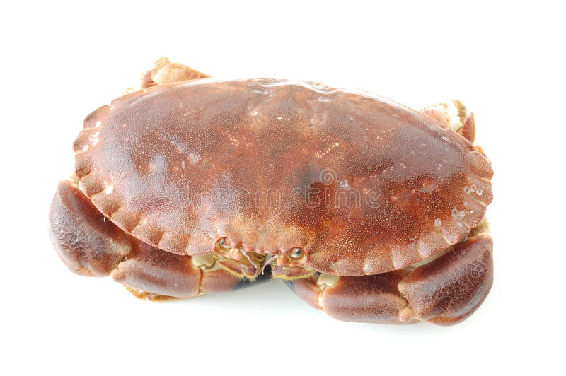 Fresh brown crab or atlantic edible crab on white royalty free stock photos