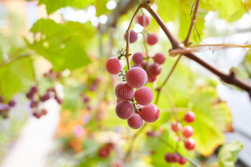 Fresh brunch of purple grapes in vineyard on blurred nature background. stock photography