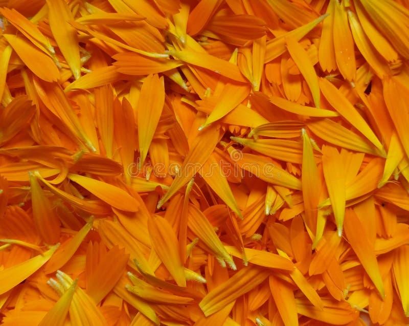 Fresh Calendula officinalis, also known as pot marigold, petals gathered for drying medicinal use. Photo royalty free stock images