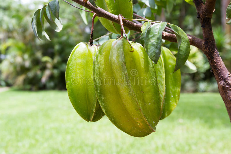 Fresh carambolas on a small tree. Close up of a cluster of carambolas or starfruit growing on a small tree in Costa Rica stock images