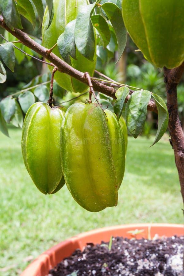 Fresh carambolas on a small tree stock photos
