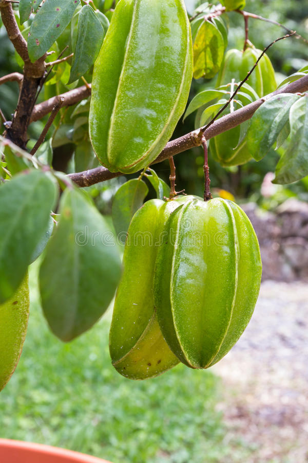Fresh carambolas on a small tree. Close up of a cluster of carambolas or starfruit growing on a small tree in Costa Rica stock image