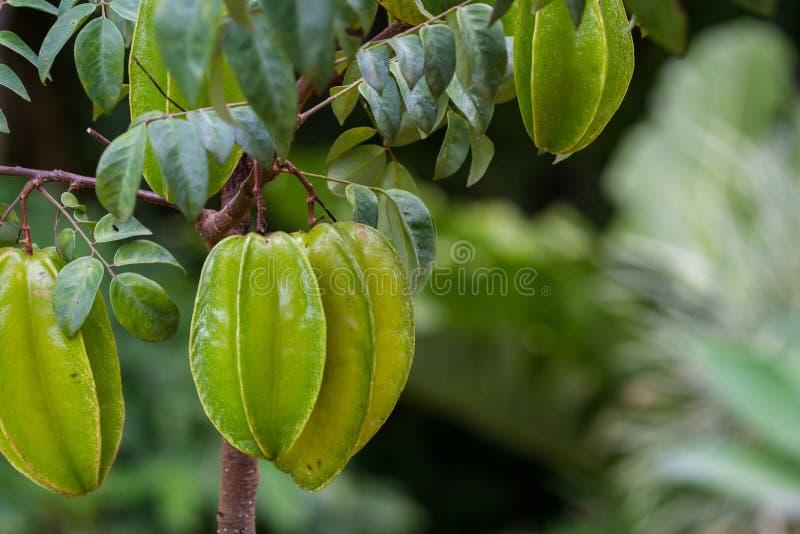 Fresh carambolas on a small tree stock photography