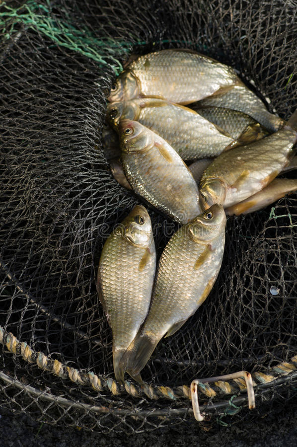 Fresh carp fishing in the cage. Fresh carp fishing cages in close-up stock photos