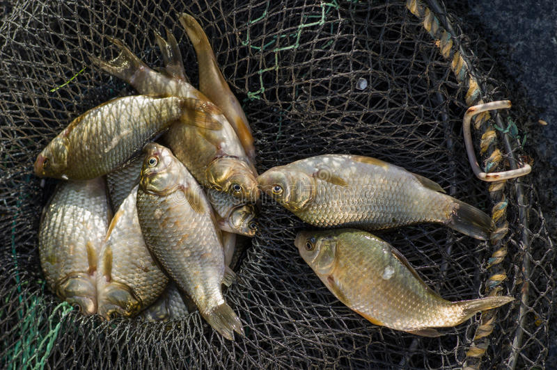 Fresh carp fishing in the cage. Fresh carp fishing cages in close-up royalty free stock photography