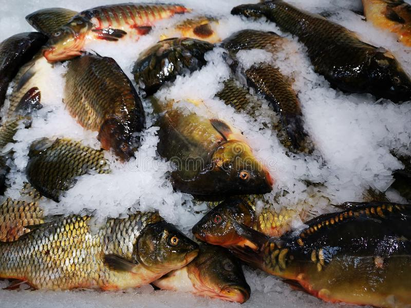 Fresh carps captured with ice. At the fish market - aqua culture stock photos