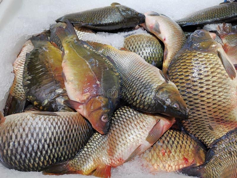 Fresh carps captured on ice. At the fish market - aqua culture royalty free stock photos