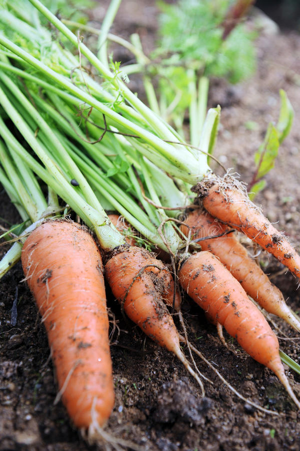 Download Fresh Carrot stock photo. Image of vegetable, agriculture - 26137208