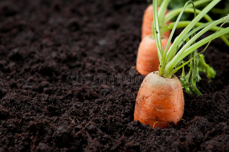 Fresh carrots in earth royalty free stock photos