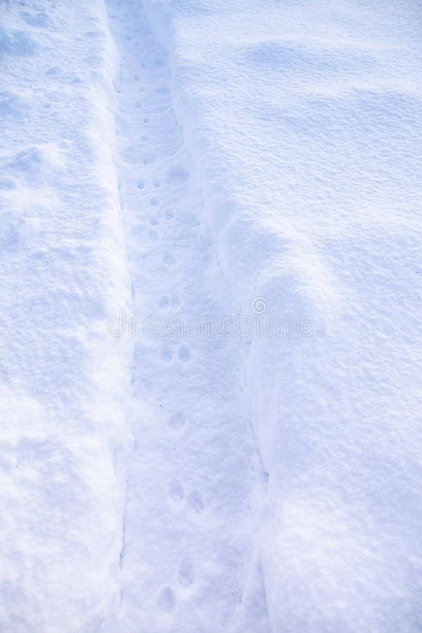 Fresh cat tracks on the path cleared of snow, on the background of snowdrifts. On a frosty winter day stock photo