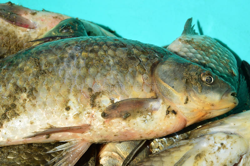 Fresh catch of fish. Carp. Crucian stock images