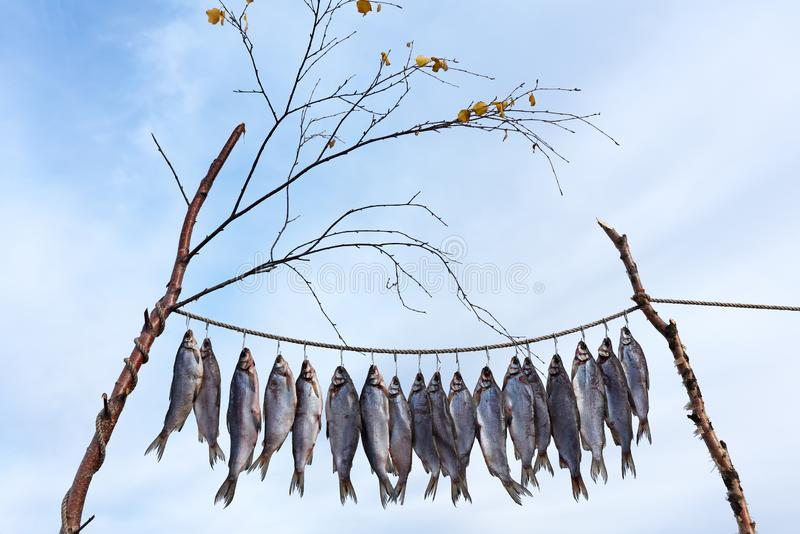 Fresh catch of fish is drying outdoor or Clipfish. Polar Circle of Russia, Yamal Peninsula, Autumn of 2018 stock photography