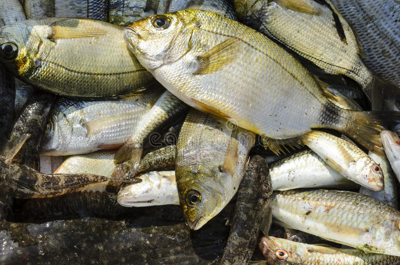Download Fresh caught fish stock image. Image of bream, food, organic - 34928081