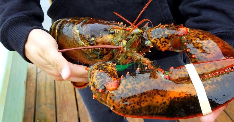 Fresh caught maine lobster. Man holding fresh caught maine lobster on fishing dock outdoors stock image