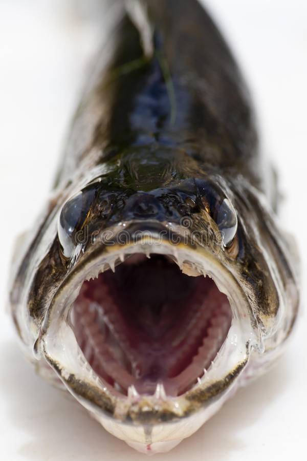 Fresh Caught Walleye stock image