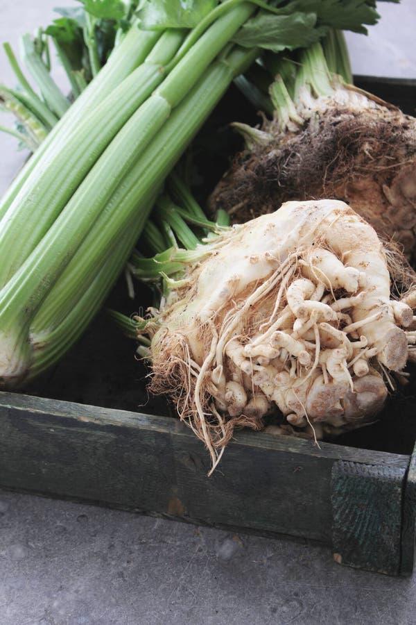 Fresh celeriac celery. Fresh harvested celeriac and celery in wooden tray royalty free stock photo