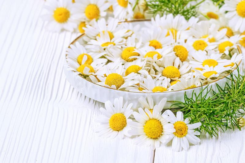 Fresh chamomile flowers stock photo