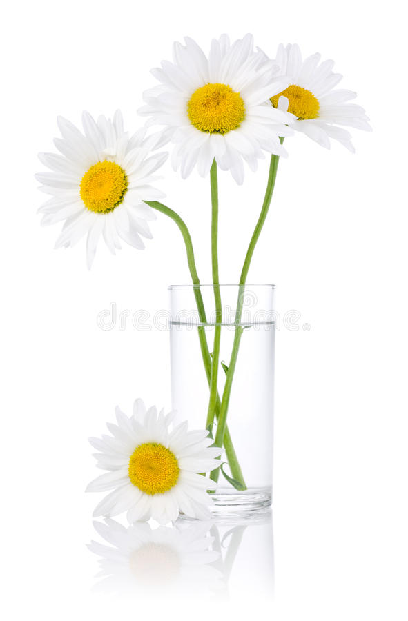 Fresh Chamomile Flowers In A Glass Of Water Stock Image