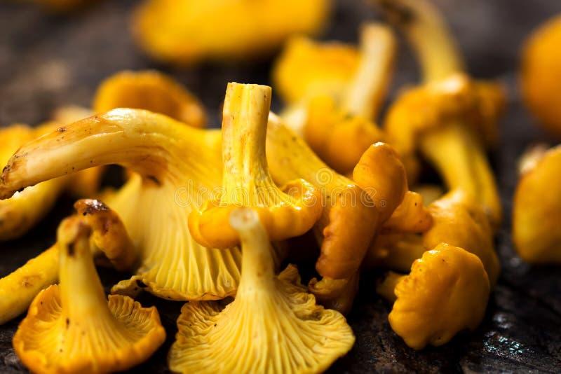 Fresh chanterelle mushrooms. On wooden background stock photos