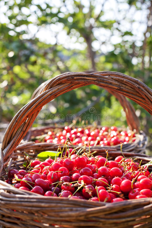 Download Cherries in the basket stock photo. Image of sunny, fresh - 30049198