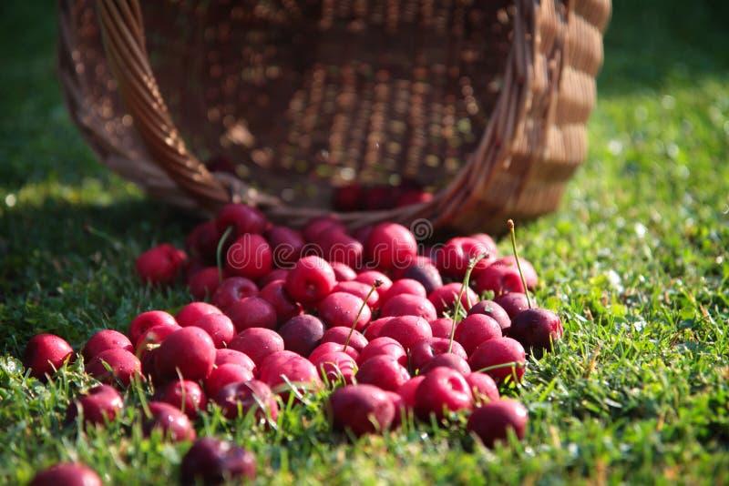 Download Fresh cherries stock photo. Image of branch, dessert - 69512128
