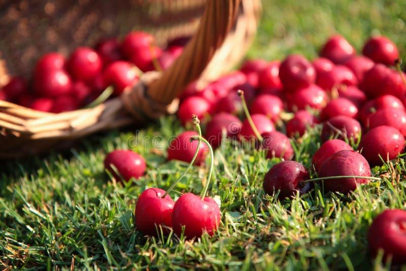 Download Fresh cherries stock image. Image of ripe, object, cherries - 69512183