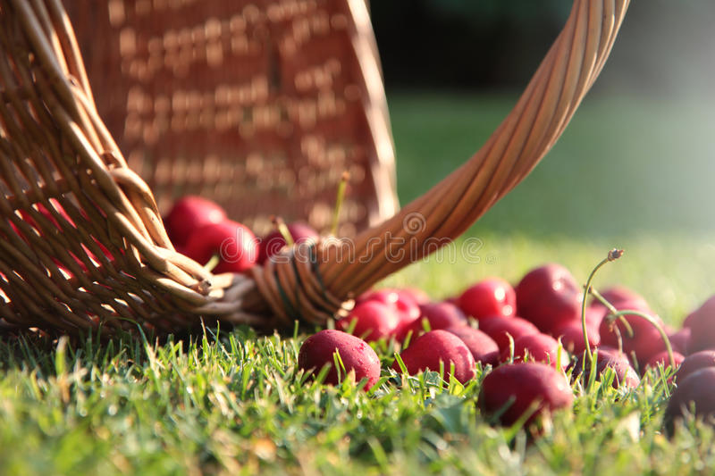 Download Fresh cherries stock photo. Image of pile, agriculture - 69512232