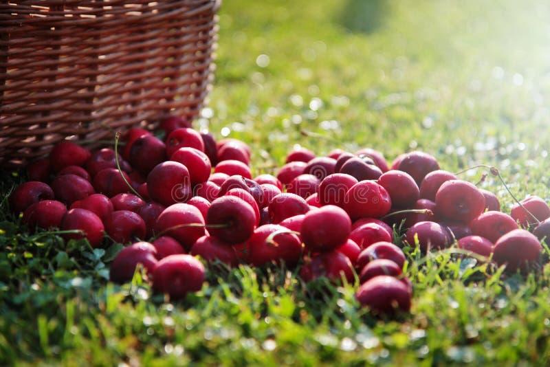 Download Fresh cherries stock photo. Image of cherries, summer - 69512118