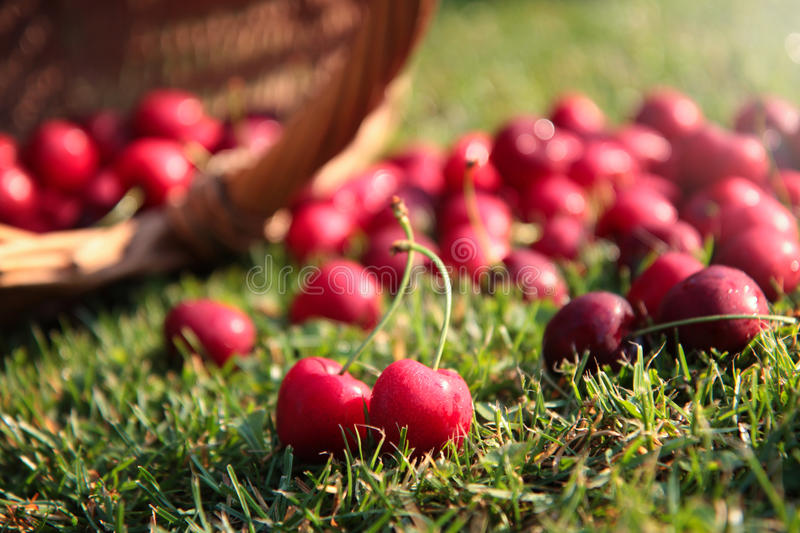 Download Fresh cherries stock photo. Image of object, plant, fruit - 69512154