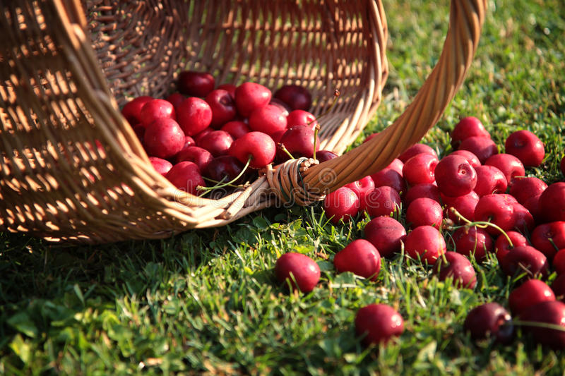Download Fresh cherries stock image. Image of background, growth - 69512155