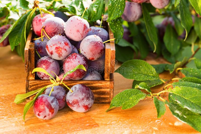 Fresh cherry plums in wooden box close stock images