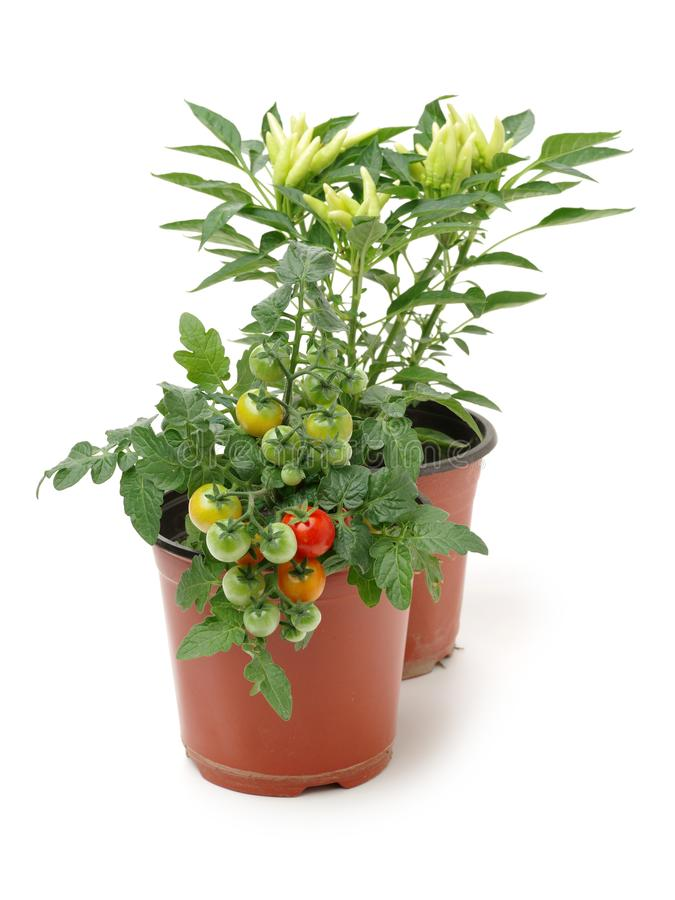 Fresh cherry tomato plant and fresh Paprika in a jar stock image