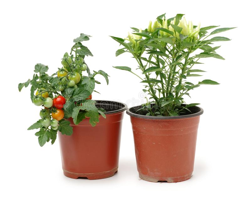 Fresh cherry tomato plant and fresh Paprika in a jar. Isolated on white background royalty free stock photo