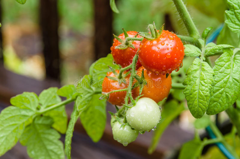 Fresh cherry tomatoes in the garden royalty free stock images