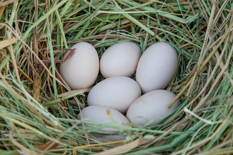 Fresh chicken eggs with nest in farm. a pile of white eggs in a nest. Eggs organic of farmer stock photography