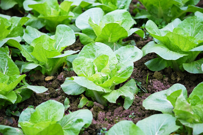 Fresh chinese cabbage stock image