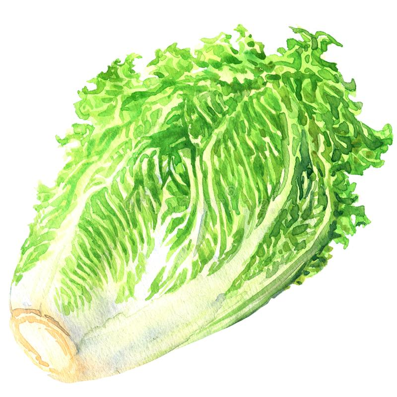 Fresh chinese cabbage isolated, hand drawn watercolor illustration on white vector illustration