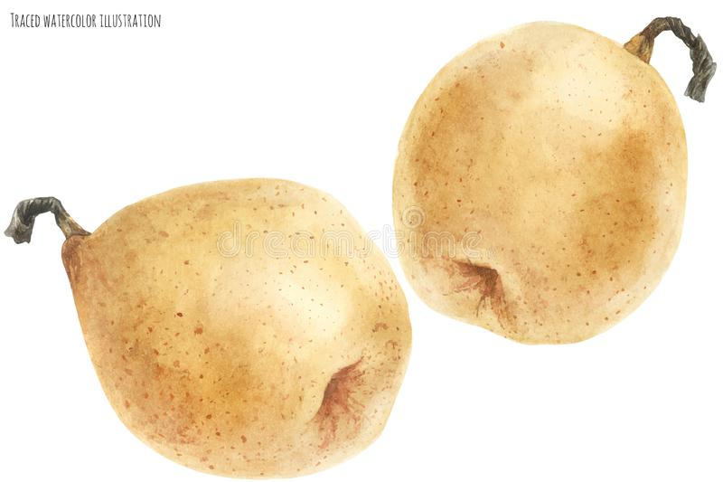Fresh chinese pears royalty free illustration